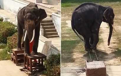 Painfully thin elephant is forced to perform cruel  tricks in Thailand