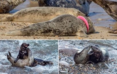 Seal is rescued with a FRISBEE stuck around its neck on Norfolk beach