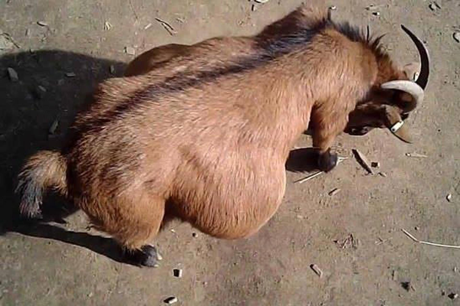 Animal sex weirdo gets 15 years hard labour for raping PREGNANT GOAT in Zambia