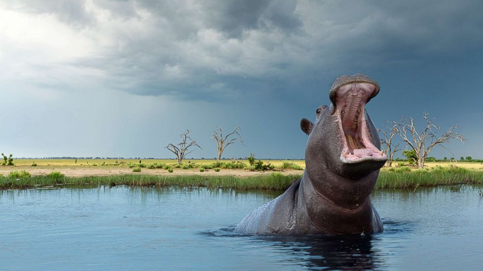 American woman attacked by hippo after boat capsizes on Zimbabwe wildlife tour