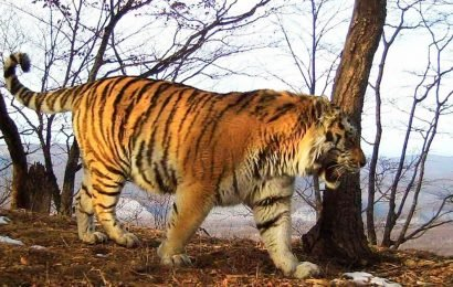 Wounded tiger 'finds humans to ask for help' after being injured