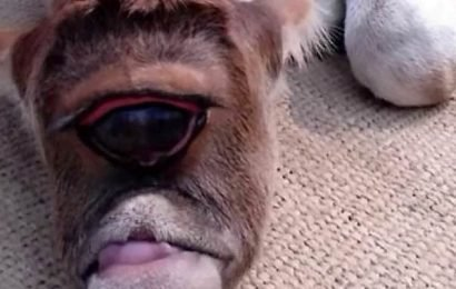 Holy cow! One-eyed calf is worshipped as a god in India
