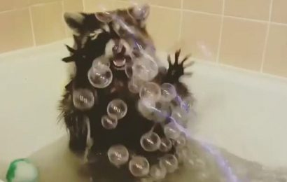 Reggie the raccoon has the time of his life with bubble gun in bath
