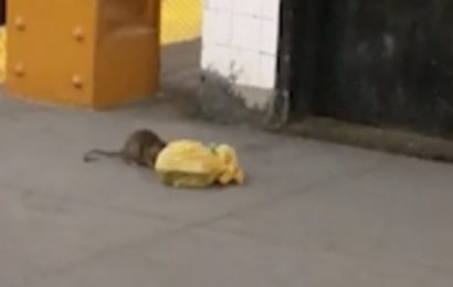 Rodent drags massive bag of takeout along the subway in New York