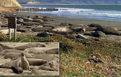 Elephant seals take over California beach during shutdown