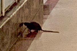 Stunned patients blast hospital after a huge rat wanders into maternity wing