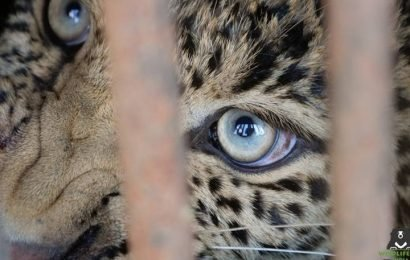 Leopard rescued from 15-metre-deep well in India