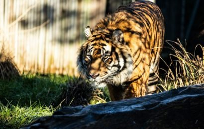 London Zoo reveal what really happened when tiger Melati was killed by her mate