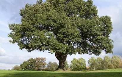 Native oak trees may have to be replaced with tougher foreign ones
