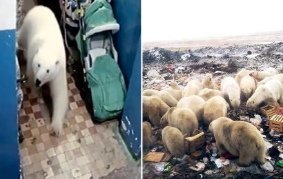 Russian officials plan to sedate more than 50 polar bears besieging Arctic town after packs of the huge beasts chase and terrorise locals