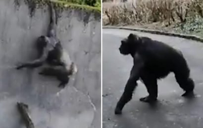 Moment ingenious chimpanzees use a fallen tree branch to escape their enclosure at Belfast Zoo