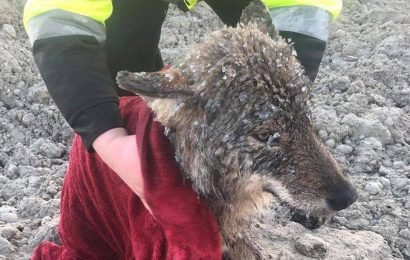 Workers Rescue Dog from a Frozen Lake and Rush It to the Vet — Only to Find Out It's a Wolf!