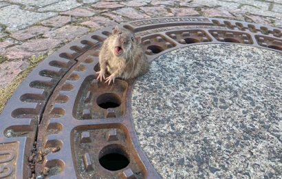 Fat rat stuck in sewer saved after nine-person rescue effort in Germany