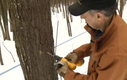 Changing temperatures could mean short season for maple syrup producers