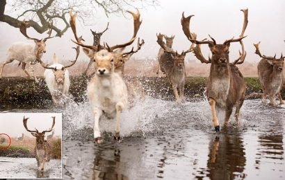 Deer chased by a dog in Richmond Park hit the water as they stampede