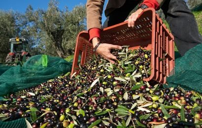 Italy may have to IMPORT olive oil after harvests devastated