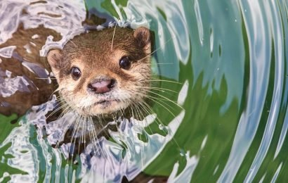 Three rare river otters disappear from North Carolina animal sanctuary, officials say