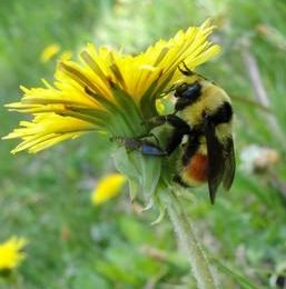 Leave those dandelions alone to help give bees a proper buzz