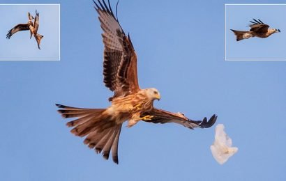 Red kite swoops on carrier bag as it floats in air