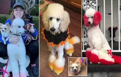 Dog groomer defends dying poodle's fur as 'she loves the attention'