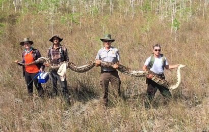 Record-Breaking 17-Foot Python Found Slithering Around Florida