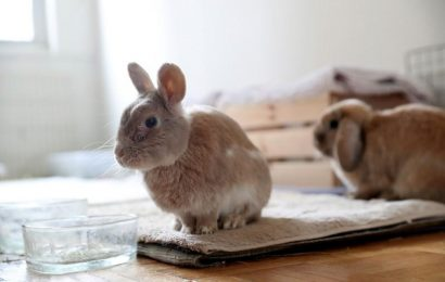 Ban the bunny: California aims to end post-Easter parade of unwanted rabbits