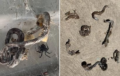Deadly red back spider catches and kills SEVEN lizards