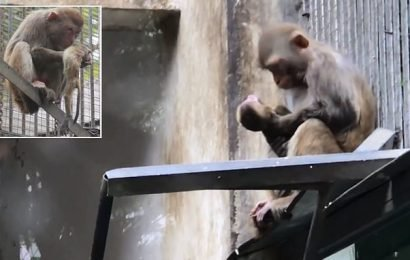 Grieving mother monkey cradles and kisses dead newborn baby