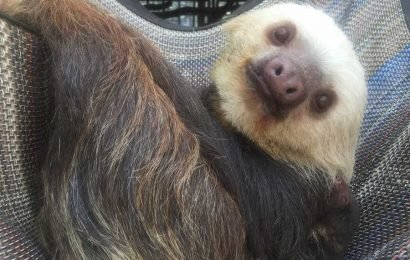 Baby Sloth Is Born at Colorado Zoo After Its Mom's Pregnancy Surprises Keepers — See the Adorable Photos