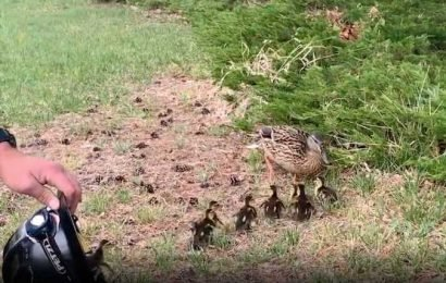Firefighter Uses Helmet to Save Ducklings from Storm Drain and Return Them to Their Anxious Mom