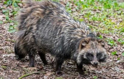 Wild Raccoon Dogs Escape Enclosure and Wreak Havoc in English Village: 'It Was Hissing'