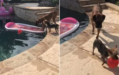 Yorkie and Boxer team up to rescue ball from water without getting wet