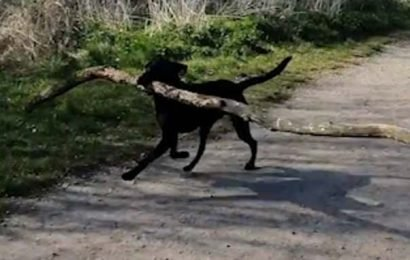 Harlow the determined Labrador proudly fetches a 10ft-long tree branch