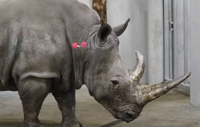 New hope to save the rhino as fertilised embryo is implanted in female