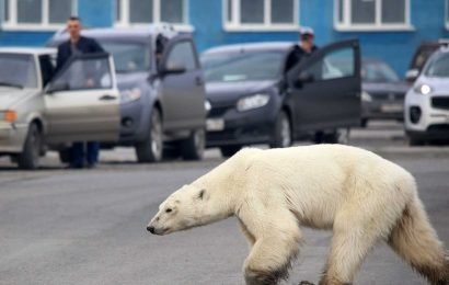 Starving polar bear found in Russian city after traveling hundreds of miles