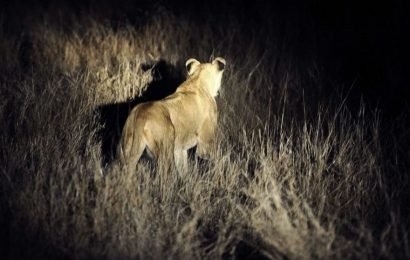 'Escaped' lions in South Africa actually weren't from park: Officials