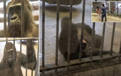 Gorilla pulls hair out and rolls around her cage in frustration