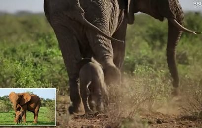 Four-day-old elephant nearly kicked by her 11.5 ton brother