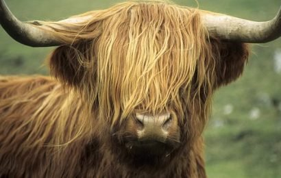 Couple lose compensation bid after claiming bull impregnated cow