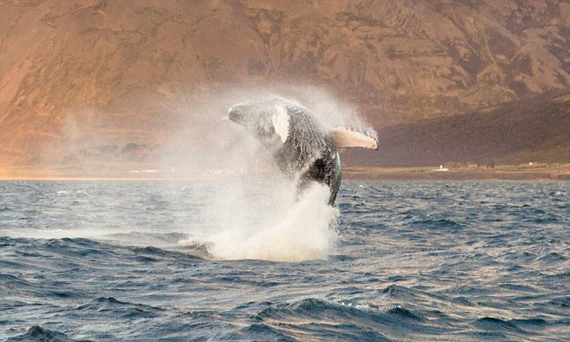 Iceland won't hunt whales this summer for the first time in 17 years