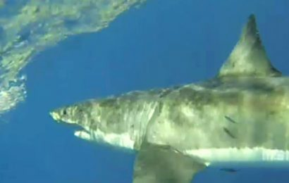 Great white shark leaps from water to snatch fish off line