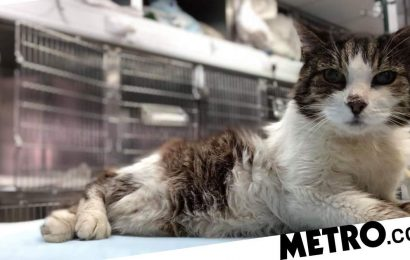 Cat with diabetes is desperately looking for a loving home