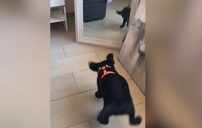 Adorable Labrador puppy confused by its own reflection in the mirror