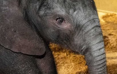 Louisville Zoo Elephant Gives Birth to 200 Lbs. Calf After 22-Month Pregnancy