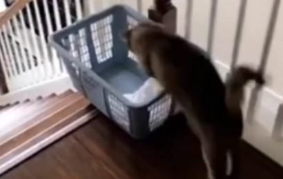 Hilarious moment lazy cat slides down the stairs in a laundry basket