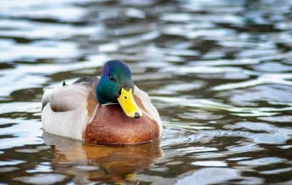 High school football players suspended for killing duck during practice