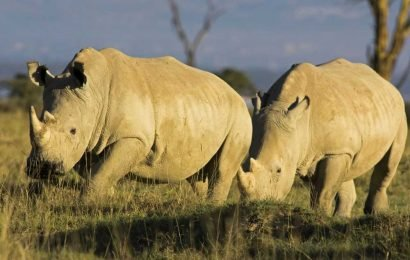 Scientists create rhino embryos in effort to save species from extinction