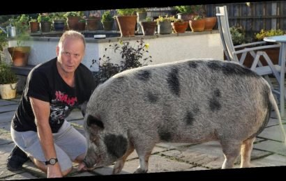 Couple's surprise as 'micro pig' they were sold turns out to be 28-stone porker