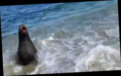 Sea lion leaps from surf and charges at couple – sending them fleeing