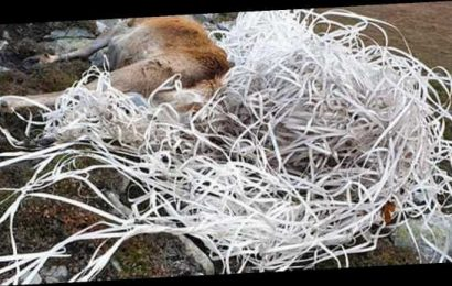 Stag died after being tangled in plastic tape dumped on Scottish island